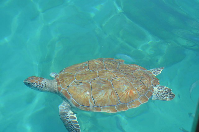 turtle in Barbados sea